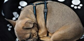 How to put a dog harness